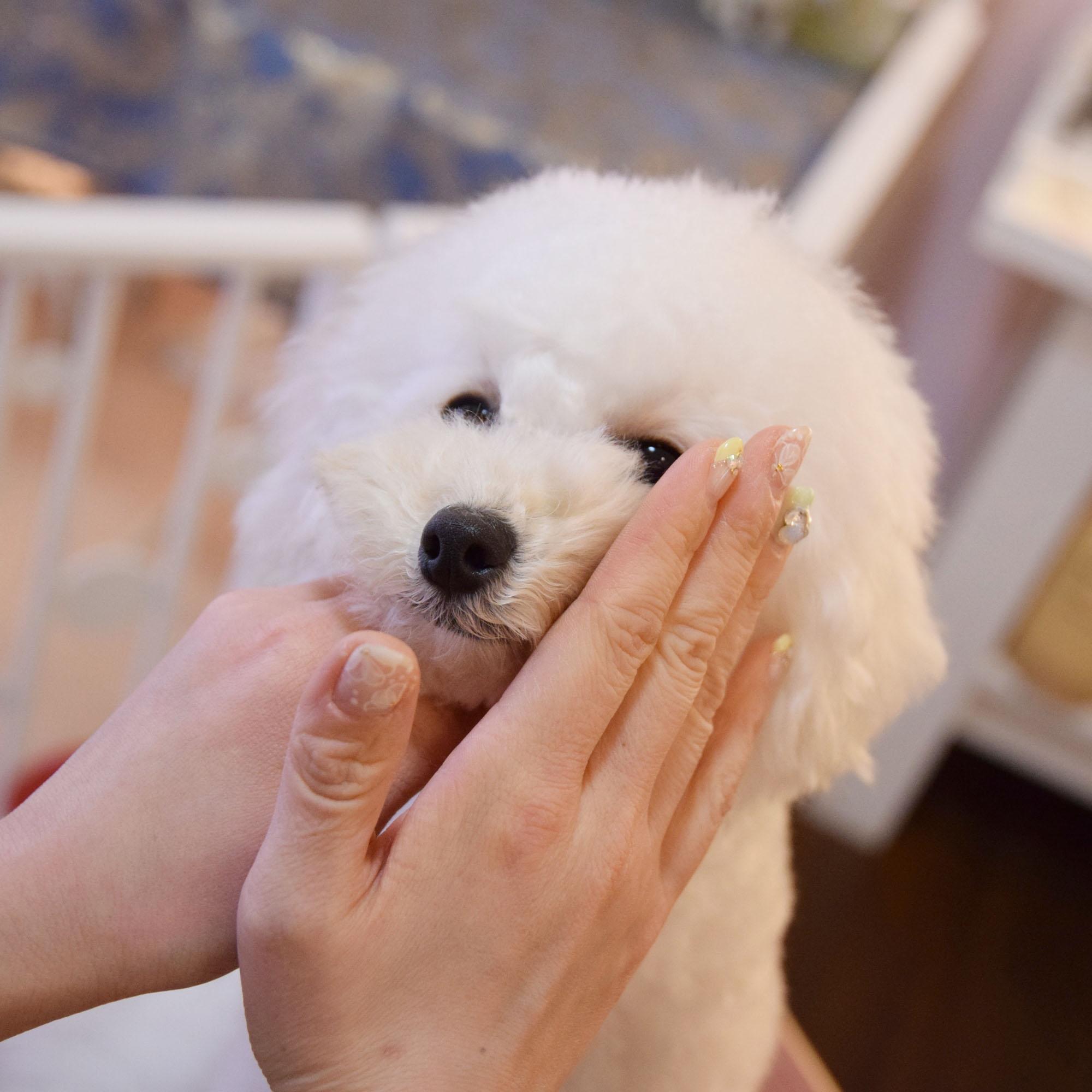 ●お顔周りはそのままスプレーすると怖がるワンちゃんもいますので、人の手に取ってから化粧水を馴染ませるように塗布して下さい。