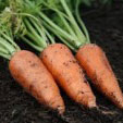 β−カロテンを豊富に含む緑黄色野菜で、皮膚を丈夫にし粘膜機能を高め身体の抵抗力を強化します。産地は冬の間が千葉、埼玉、茨城県産、春が徳島県産、夏から秋が青森、北海道産というように季節により産地が移り変わります。食材産地:国産