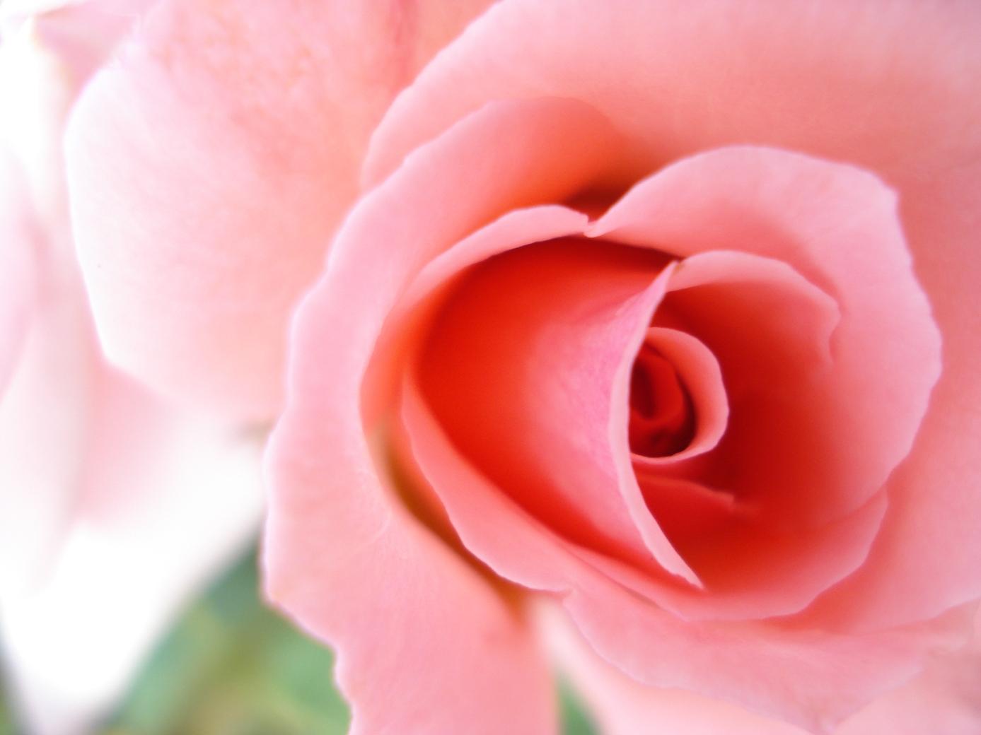 ローズの香りには精神な安らぎをもたらすだけでなく、 肉体的な緊張の緩和や癒しなどのリラックス効果があります。