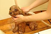 4.わんちゃんの体を全体的に濡らします。(シャンプー前にお使い下さい。)